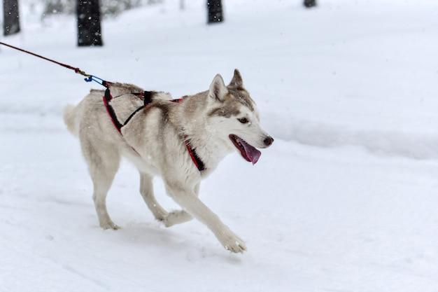 Husky sledehonden in harnassen rennen en trekken