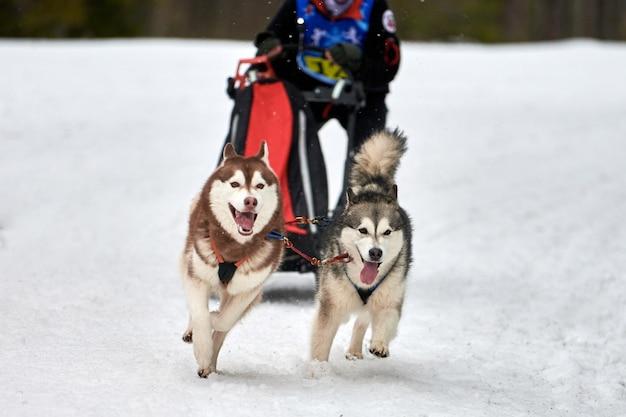 Husky sledehonden racen. winterhondensport slee teamcompetitie. siberische husky-honden trekken slee met musher