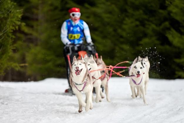 Husky sledehonden racen. winterhondensport slee teamcompetitie.