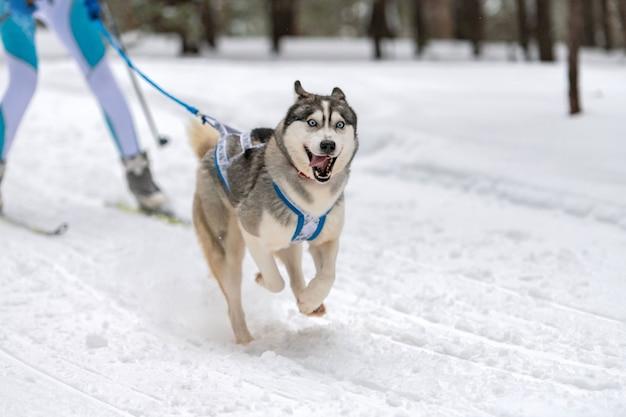Husky sledehonden team in harnas rennen en hondenbestuurder trekken. sledehonden racen. wintersport kampioenschap competitie.
