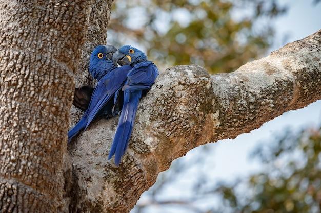 Hyacint ara op een palmboom in de natuur habitat
