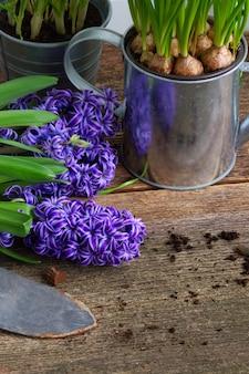 Hyacint bloemen en schop op donkere houten achtergrond