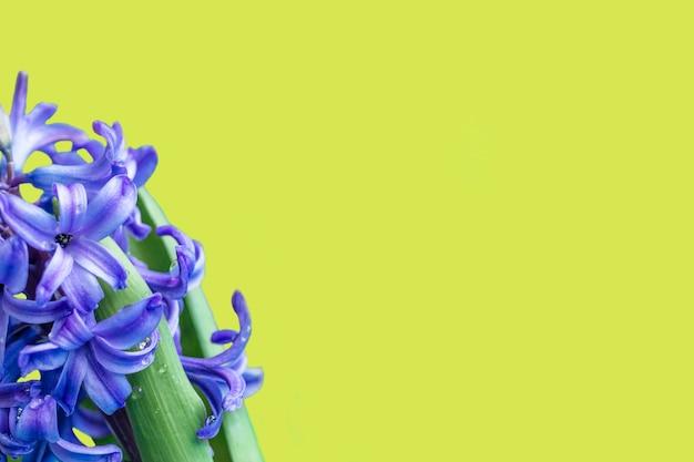 Hyacint gewone of nederlandse hyacint bloeit op een zachtgele achtergrond. het concept van hallo lente. minimaal begrip. ansichtkaart, bloemenachtergrond, kopieerruimte