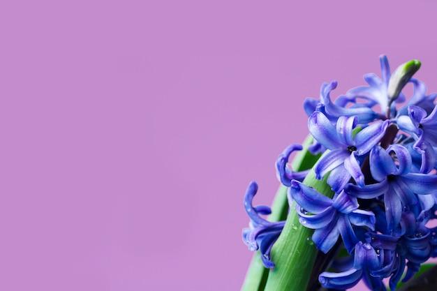 Hyacint gewone of nederlandse hyacint bloeit op een zachtroze achtergrond. het concept van hallo lente. minimaal begrip. ansichtkaart, bloemenachtergrond, kopieerruimte