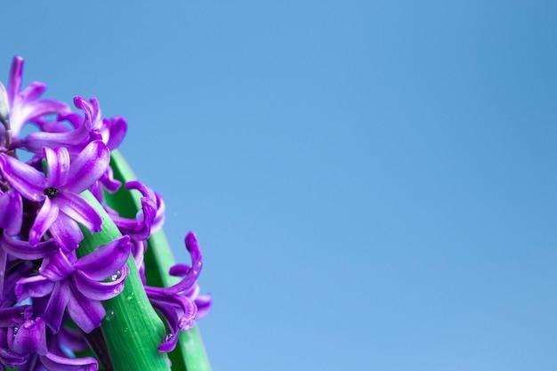 Hyacint gewone of nederlandse hyacint bloemen op een zachtblauwe achtergrond. het concept van hallo lente. minimaal begrip. ansichtkaart, bloemenachtergrond, kopieerruimte