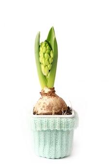 Hyacint met bol op witte achtergrond tot bloei komende de lentebloem die wordt geïsoleerd