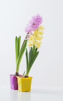 Hyacintbloemen in plastic pot op wit oppervlak