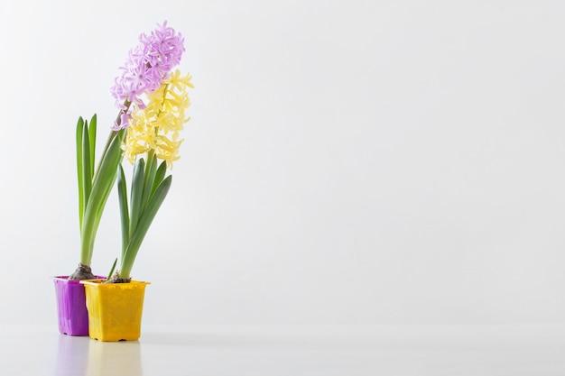 Hyacintbloemen in plastic pot op witte achtergrond