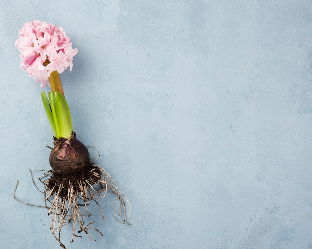 Hyacintwortel met kopie-ruimte