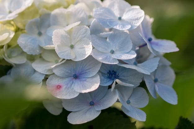 Hydrangea bloemblaadjes geel en blauw bloeien prachtig.
