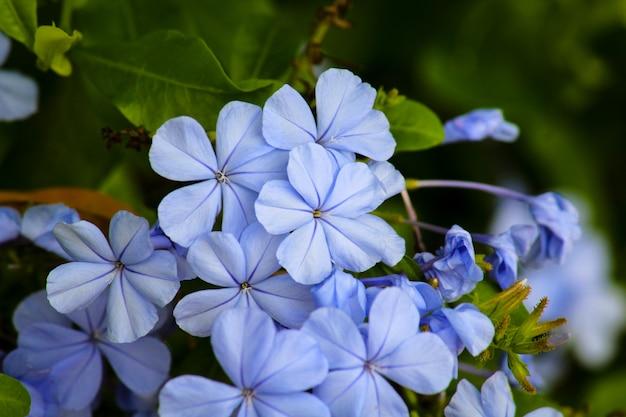 Hydrangea bloemen