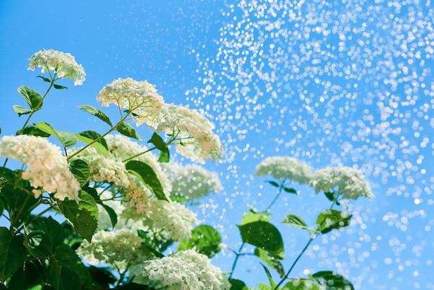 Hydrangea hortensia bloeit in kleine druppels water tegen een blauwe hemel