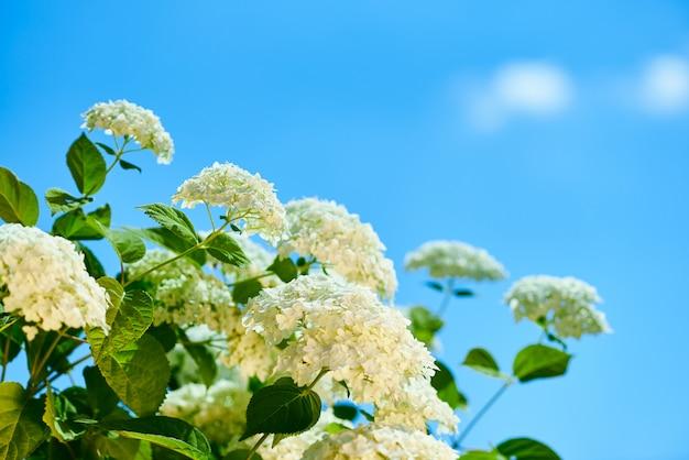 Hydrangea hortensiabloemen tegen een blauwe hemel