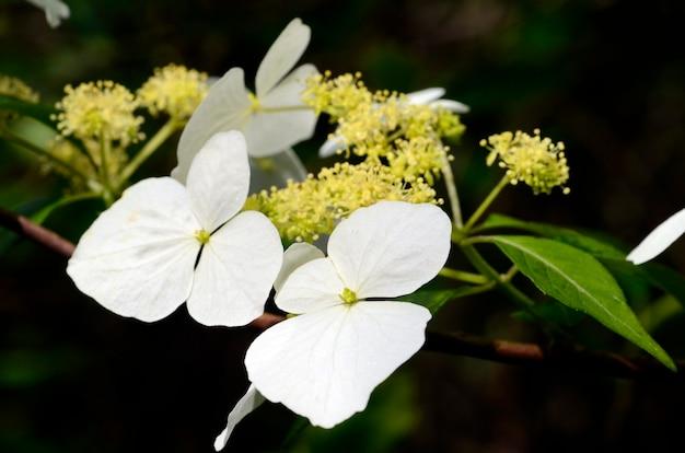 Hydrangea luteoveosa in bloei. iturraran botanische tuin. baskenland. spanje