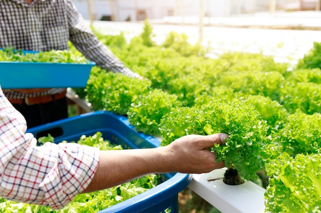 Hydrocultuur boerderij, werknemer oogst sla organische hydrocultuur groente in kas boerderij tuin.