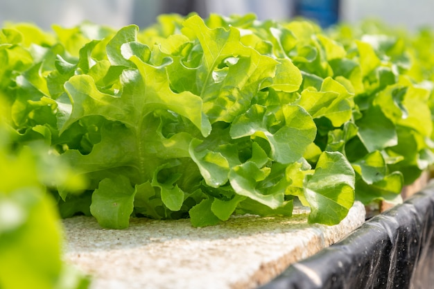 Hydrocultuurgroenten die op water groeien