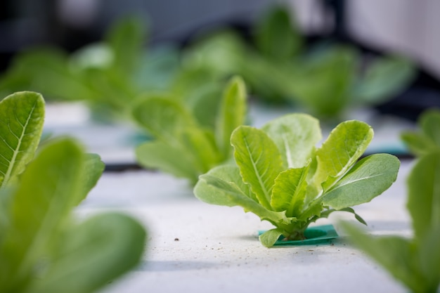 Hydrocultuurmethode voor het kweken van planten met behulp van minerale voedingsoplossingen in thailand
