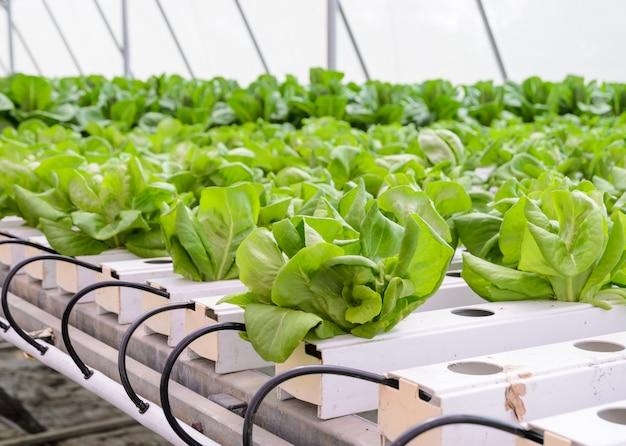 Hydroponic butterhead leaf slagroente plantage in aquaponics-systeem