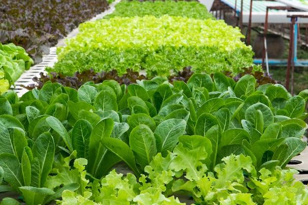 Hydroponic groenten die in serre groeien