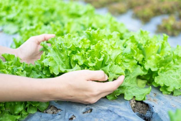 Hydroponic groentensalade in het geven handen bij saladelandbouwbedrijf.