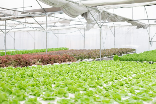 Hydroponic van slalandbouw het groeien in serre.