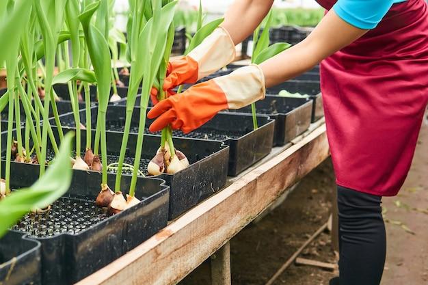 Hydroponische tulpen oogsten die in een kas zijn gekweekt - de handen van een vrouwelijke werknemer zijn zichtbaar