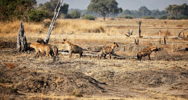 Hyena-groep