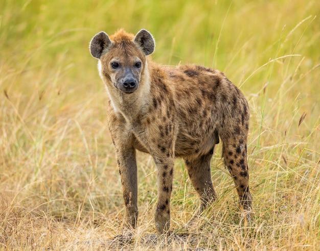 Hyena in de savanne