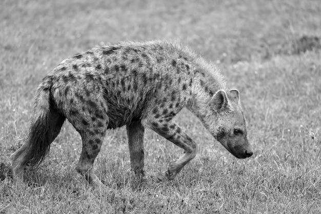 Hyena loopt in de savanne op zoek naar voedsel