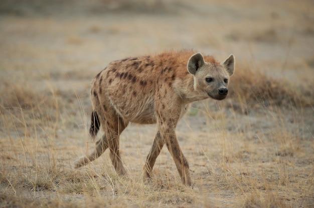 Hyena loopt in de savanne