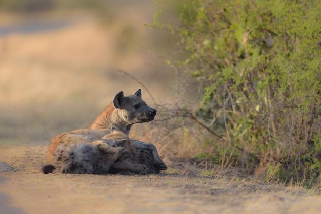 Hyena's die op de ronde gaan liggen