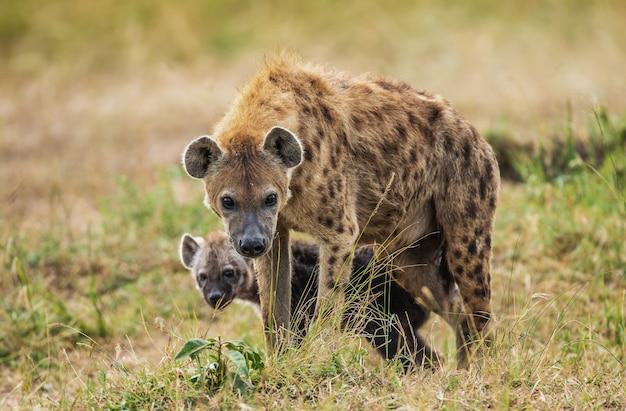 Hyena's in de savanne