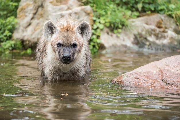 Hyena's in het water spelen