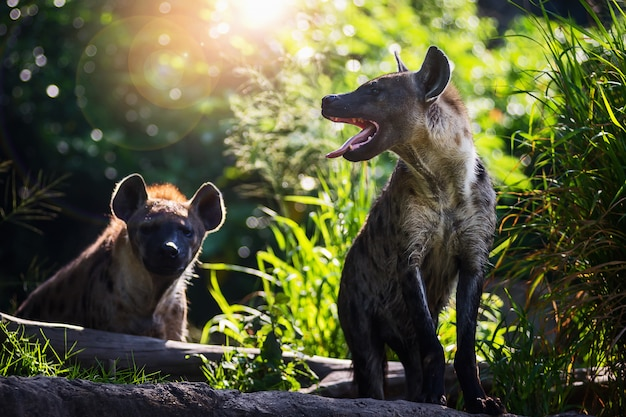 Hyena's op de natuur met zonlicht