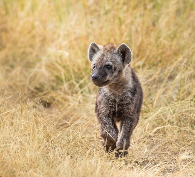 Hyena's welp in de savanne