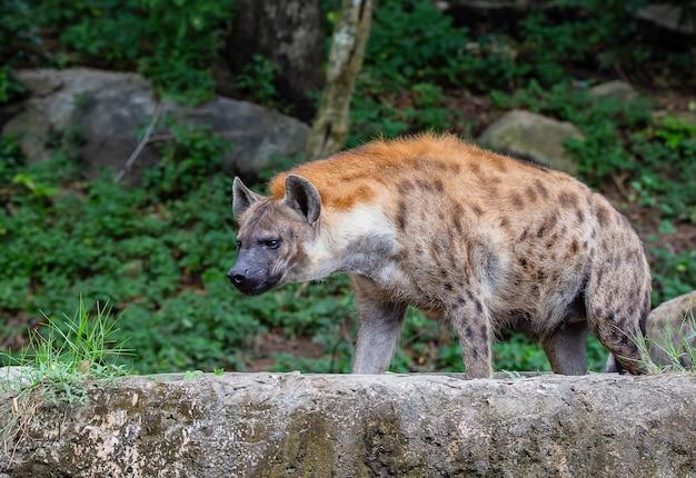 Hyena staat alleen