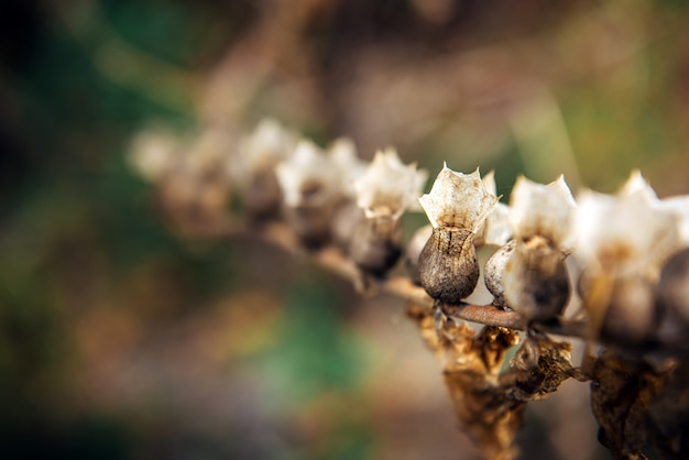 Hyoscyamus niger, zwarte bilzentak of stinkende nachtschade, macro.