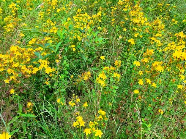 Hypericum perforatum groeit op veld, medicinale planten.