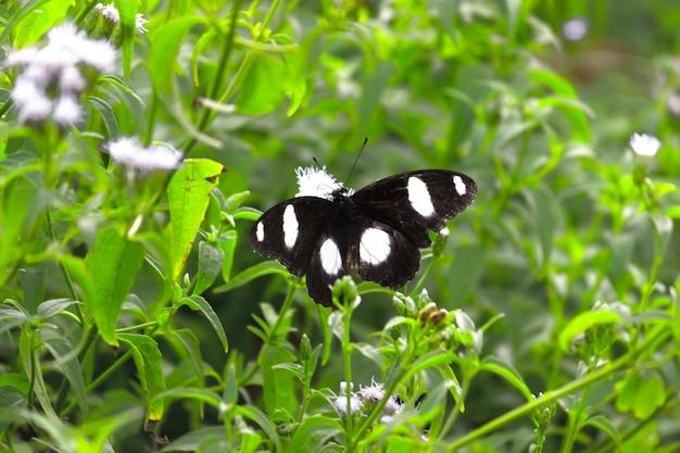 Hypolimnas bolina de grote eiervlieg of blauwe maanvlinder die op de bloemplanten rust