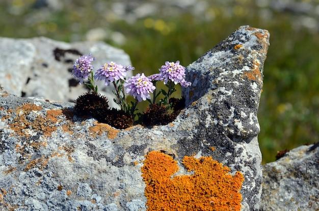 Iberiscarnosa in bloei. het is een rupicolous plant