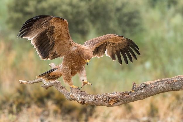 Iberische keizerarend op een tak met vleugels open of tijdens de vlucht