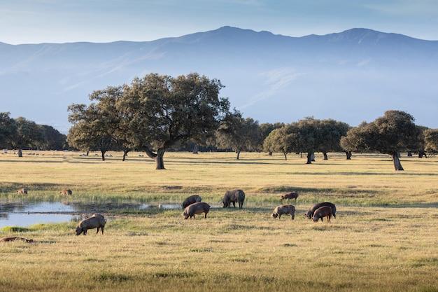 Iberische varkens die op het platteland grazen