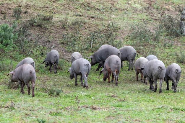 Iberische varkens grazen