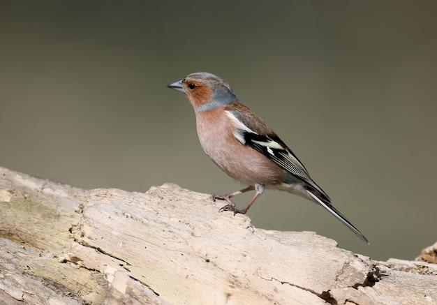 Id portret van midden bonte specht. het is mogelijk om voor de vogels een identificatiegids te gebruiken.