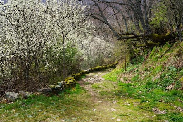 Idyllisch lentelandschap met bomen met witte bloemen en pad naar het bos met bomen met enorme takken