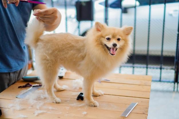 Iemand verzorgt of knipt een hondenhaar, een pomeranian of een klein hondenras met een schaar