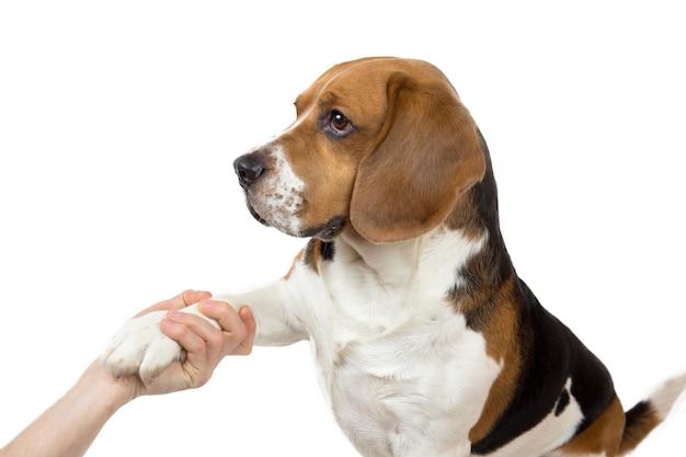 Iemands hand schudt poot van het hondenras amerikaanse beagle