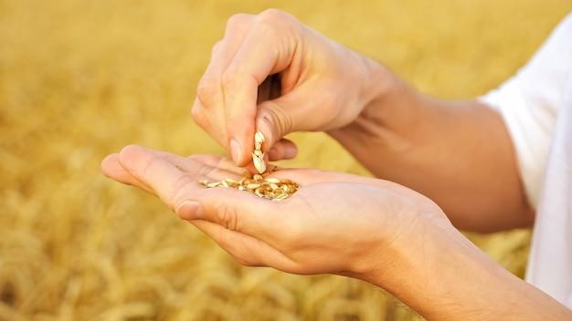 Iemands handen schillen tarwe van kaf in een close-up van een veld.