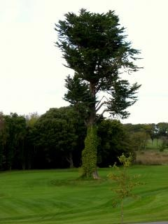 Ierland - plechtige boom