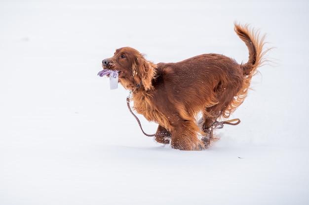 Ierse red setter hond spelen aangelijnd op een winterwandeling